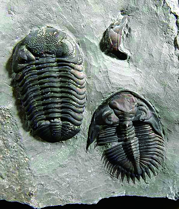 Two species of trilobite — Phacops and Greenops — found at Penn Dixie.