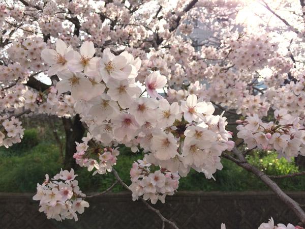 西浦上駅の桜