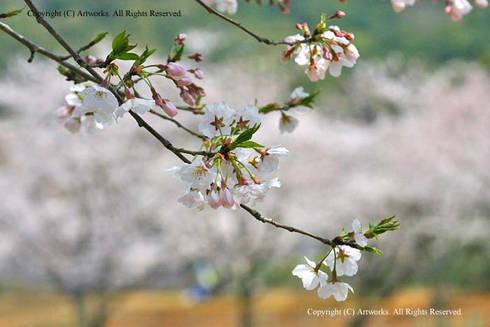 諫早文化会館中ホールの桜