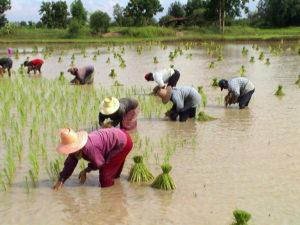 タイの田植え