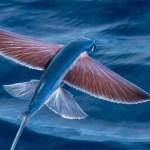 飛魚をなぜ「あご」というのか