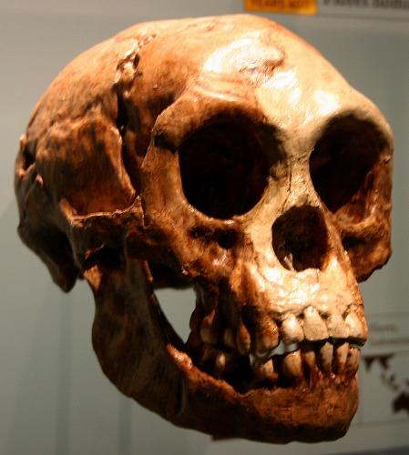 ホモ・フローレシエンシスの頭骨