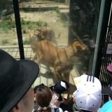安佐動物公園のレオガラス ライオンが近すぎてホントに驚いた!