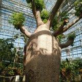 広島市植物公園で樹齢400年!国内最大のバオバブの木を見てきたよ!