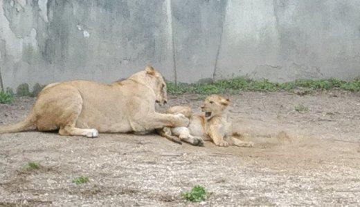 安佐動物公園 ライオンの赤ちゃん名前決定!かわいすぎでした!