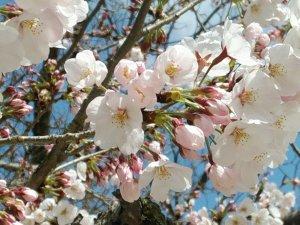 桜 お花見2020