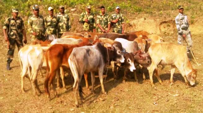BSF Seized 21 Cattle While Being Smuggled to Bangladesh