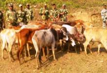 Photo of BSF Seized 21 Cattle While Being Smuggled to Bangladesh