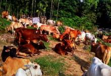 Photo of BSF Seizes Huge Herd of Cattle at Bangladesh Border