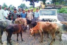 Photo of Shillong- BSF Nabs Two Cattle Smugglers