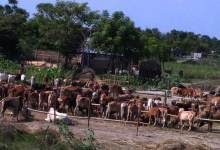 BSF Seized 312 Cattle Heads from Dhubri