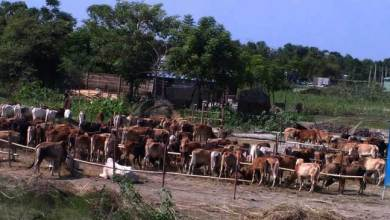 Photo of BSF Seized 312  Cattle Heads from Dhubri