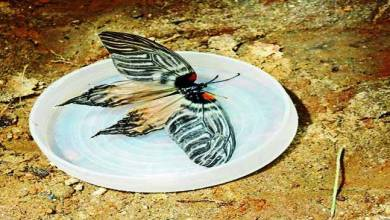 Photo of New species of butterfly named after  Apatani tribe of Arunachal