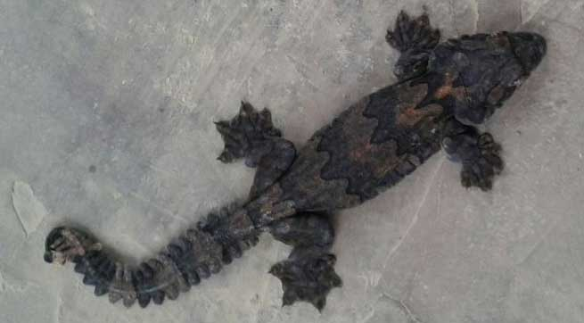 BSF Seized GECKO on Indo-Bangla International Border