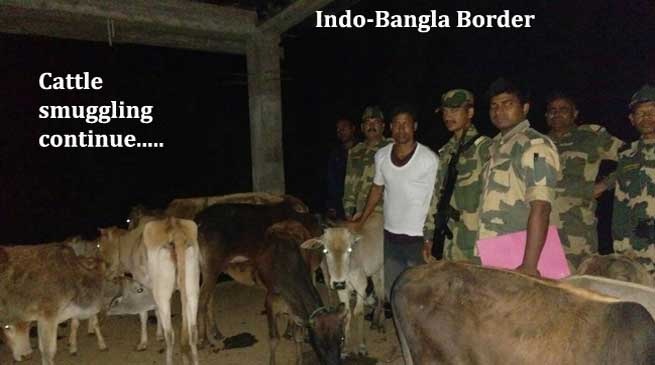 BSF Nabbed Cattle Smuggler with Cattle and Seizes Wooden Logs