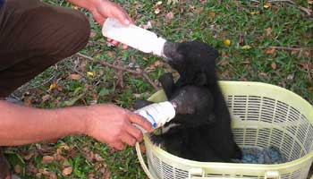 Roing- Two Asiatic Black Bear Cubs Rescued