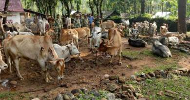 Shillong-BSF seizes huge number of Cattle