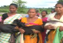 Photo of Bongaigaon Diocese Distributes goats to Widows