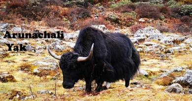 Yaks found in Arunachal registered as a new bread