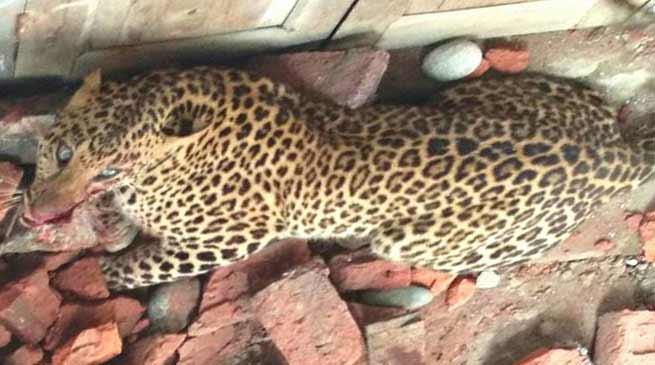 Arunachal: Leopard creating havoc at last tranquillised