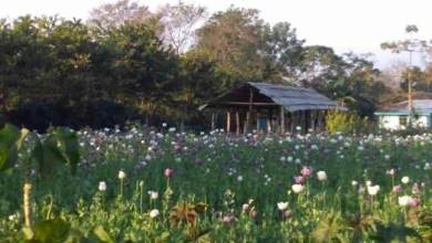 Photo of Arunachal: Flourishing opium at Medo