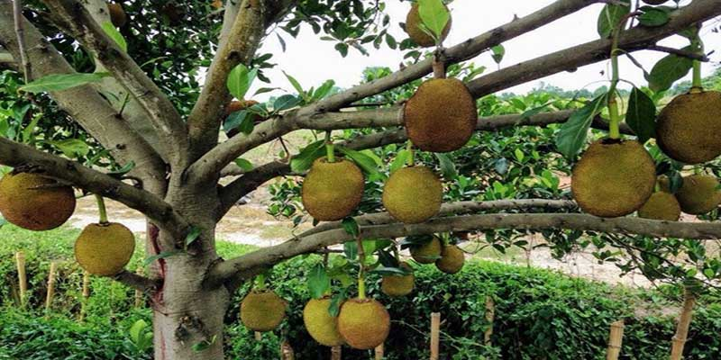Arunachal: Expert's study sought on possible reason for dieback or death of Jack fruit trees from Siang belt