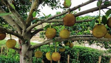 Photo of Arunachal:  Expert's study sought on possible reason for dieback or death of Jack fruit trees from Siang belt
