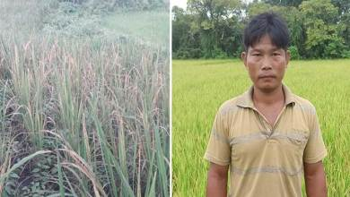 Photo of Arunachal:  WBPH pests damaging paddy fields extensively, farmers crying for the govt help