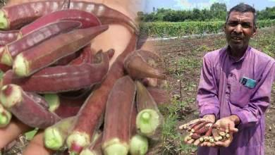 MP Farmer grows Red Ladyfinger: Price Rs 800 per Kg