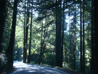 Tall trees along Highway 17