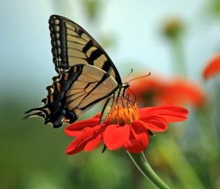 butterflyred1