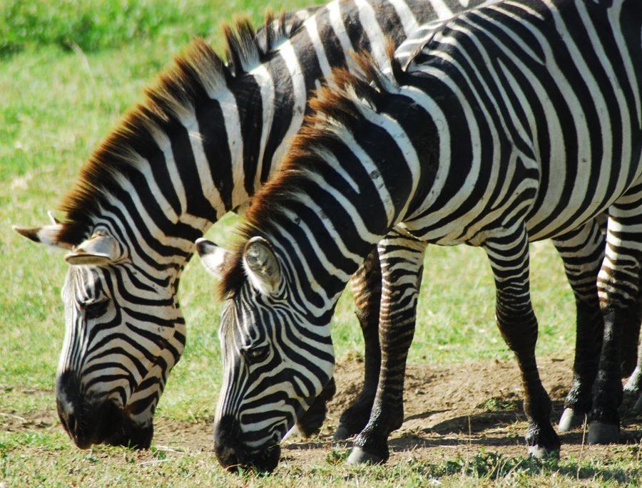 Ngorongoro Zebras in Tanzania.JPG
