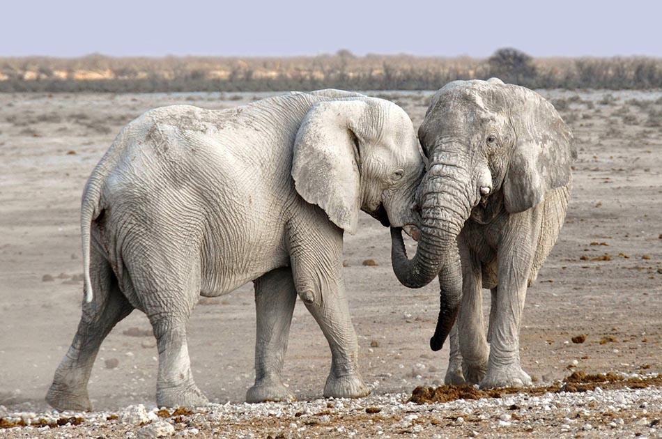 African Elephants.jpg
