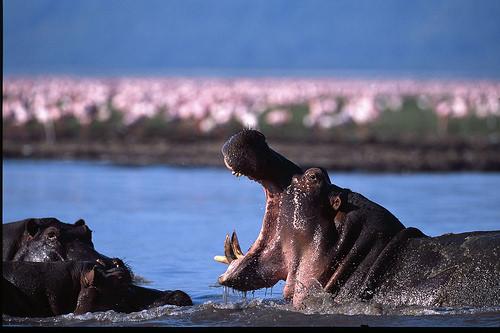 Hippos, Lake Manyara.jpg