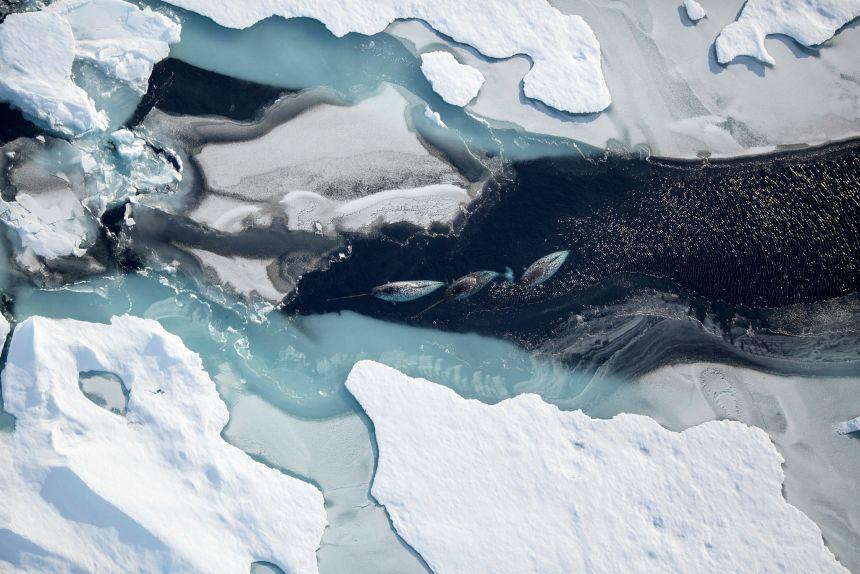 Hvalmigrasjon. Foto: Jon Aars/Norsk Polarinstitutt