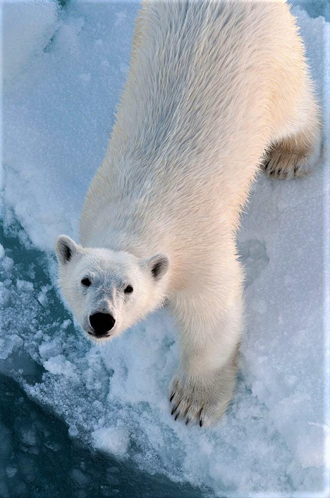 Polar bear (Photo: Rudi Caeyers).