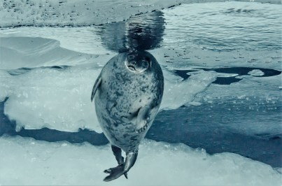 Seal under the ice (Photo: Peter Leopold).