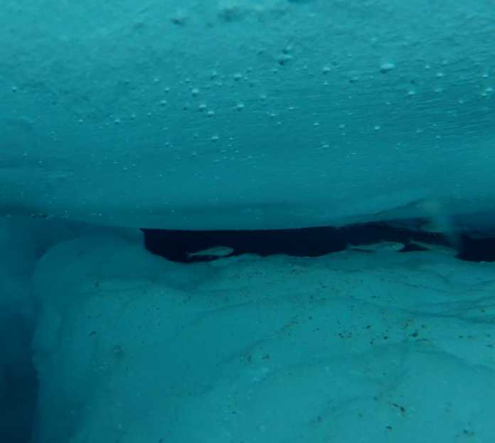 A school of polar cod hiding in gaps between rafted sea ice at Nansen Legacy process station P2, at about 77.5° degrees north and 34°degrees east (Photo: Adam Steer, Norwegian Polar Institute).