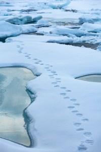 Polar bears footprints on the sea ice