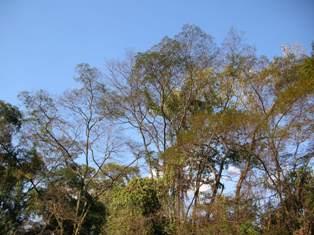 copas das árvores da mata da USP