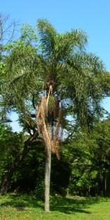 a palmeira ainda jovem