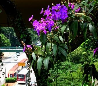 Flores da quaresmeira atrás do MASP, com a av. 9 de julho ao fundo. Ricardo H Cardim