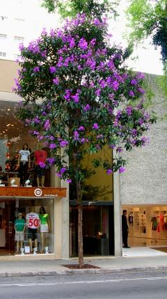 Quaresmeira florida na Rua Oscar Freire, Jardins. Ricardo H Cardim