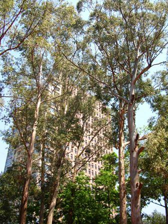 Eucaliptos na Praça Victor Civita
