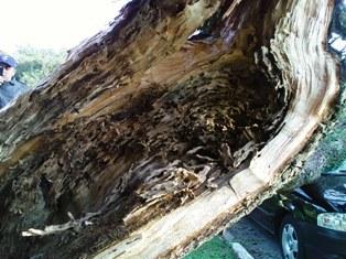 ninho de cupins no interior do tronco