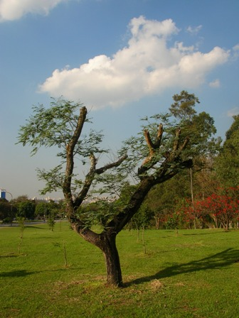 árvore transplantada em São Paulo foto de Ricardo Henrique Cardim