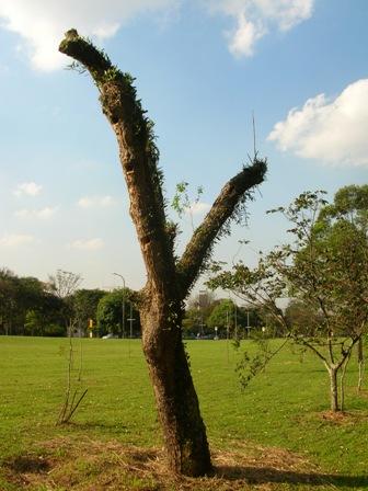 árvores transplantada morta foto de Ricardo henrique cardim