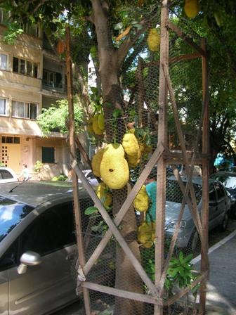 jaqueira em São Paulo - Amigos das Árvores de SP - foto de Ricardo Cardim