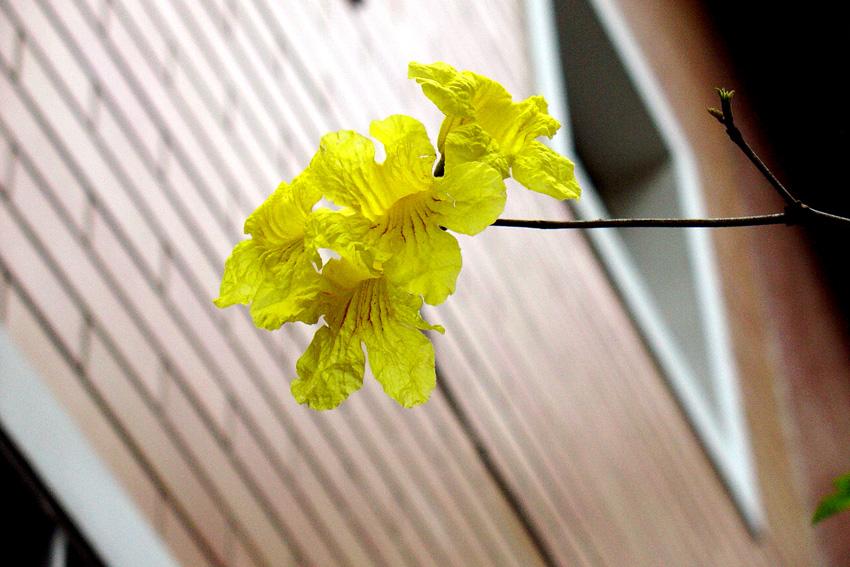 flores ipê amarelo