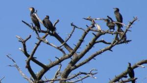 golfe-du-morbihan-les-cormorans-ne-sont-plus-les-bienvenus